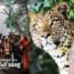സന്നിധാനത്ത് പുലിയിറങ്ങി;മാളികപ്പുറം പടിക്കെട്ടിനു താഴെ കാട്ടുപന്നികളെ കടിച്ചു കീറി